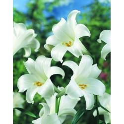 Lys longiflorum blanc