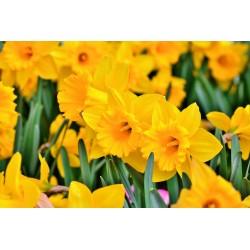 Narcisses trompettes jaunes...