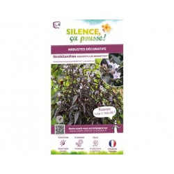 Strobilanthes aniso brunetthy - pot de 4,5L